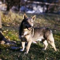 Picture of swedish vallhund in sweden