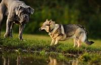 Picture of Swedish Vallhund meeting bigger dog
