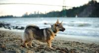 Picture of Swedish Vallhund near beach
