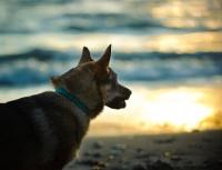 Picture of Swedish Vallhund near sea at sunset