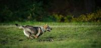 Picture of Swedish Vallhund running fast