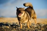 Picture of Swedish Vallhund running on pebbles