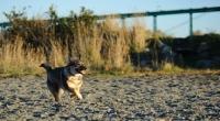 Picture of Swedish Vallhund running on sand