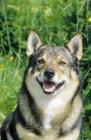 Picture of Swedish Vallhund small working dog