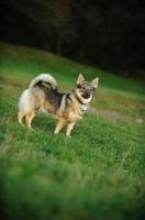 Picture of Swedish Vallhund standing on grass