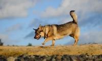 Picture of Swedish Vallhund walking on log