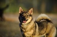 Picture of Swedish Vallhund