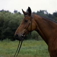 Picture of swedish warmblood portrait
