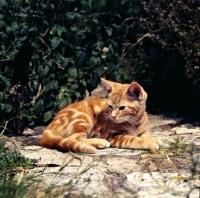 Picture of tabby kitten resting