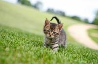 Picture of tabby kitten walking on grass