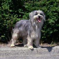 Picture of talisman flassiges liesch,  pyrenean sheepdog