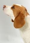 Picture of tan and white Beagle, profile