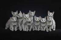 Picture of ten 10 week old Russian Blue kittens