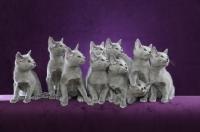 Picture of ten cute 10 week old Russian Blue kittens