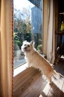 Picture of terrier mix standing in window, looking back over shoulder