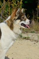 Picture of Thai Bangkaew dog, profile shot