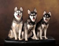 Picture of three Alaskan Klee Kai dogs