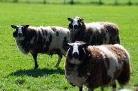 Picture of three bonte Texel sheep, (bonte Texelaar)