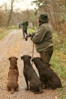 Picture of three chocolate Labrador Retrievers