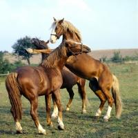 Picture of three Frederiksborg stallions seeking supremecy
