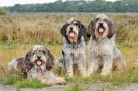Picture of three Griffon Bleu de Gascogne dogs