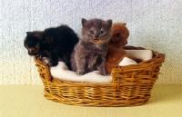 Picture of three kittens, blue tortoiseshell, tortoiseshell meowing, red tabby