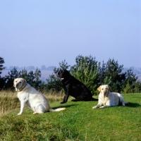 Picture of three labrador retrievers