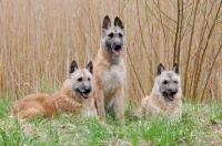 Picture of three Laekenois dogs (Belgian Shepherds)