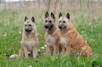 Picture of three Laekenois dogs (Belgian Shepherds), sitting down