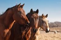 Picture of three Morgan Horses