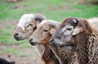 Picture of three Nguni sheep