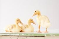 Picture of three Peking Ducklings (aka Long Island duck)