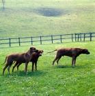 Picture of three rhodesian ridgebacks in a field