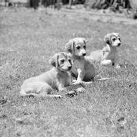 Picture of three saluki puppies