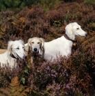Picture of three salukis  in heather, geldara burydown yanina, geldara amrita, geldara oberon