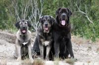 Picture of three Spanish Mastiffs (Mastin Espanol)