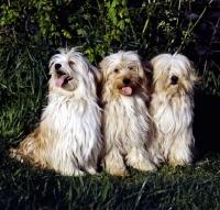 Picture of three tibetan terriers