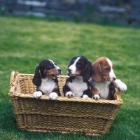 Picture of three westphalian dachsbracke puppies