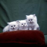Picture of three white Chinchilla kittens