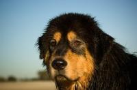 Picture of Tibetan Mastiff head study