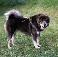 Picture of tibetan mastiff on grass