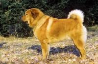 Picture of Tibetan Mastiff, posed