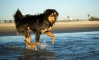 Picture of Tibetan Mastiff running on beach