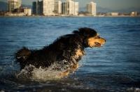 Picture of Tibetan Mastiff running through water