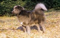Picture of Tibetan Mastiff, side view