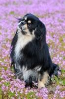 Picture of Tibetan Spaniel