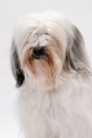 Picture of Tibetan Terrier, Australian Champion, portrait