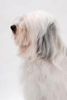 Picture of Tibetan Terrier, Australian Champion, profile