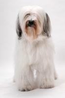 Picture of Tibetan Terrier, Australian Champion in studio