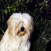 Picture of tibetan terrier head study